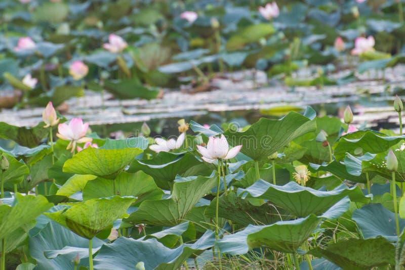 Meer en de Indische bloemen van de lotusbloem heilige lotusbloem royalty-vrije stock afbeelding