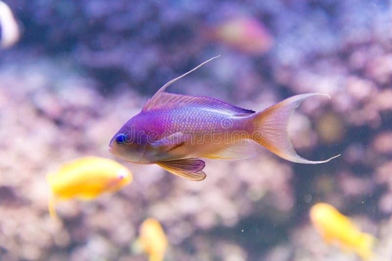 Meer-goldie - anthias squamipinnis - Mann stockfotos
