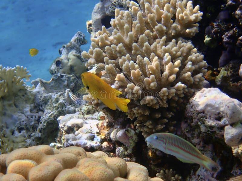 Meer-goldie Fische stockfotografie