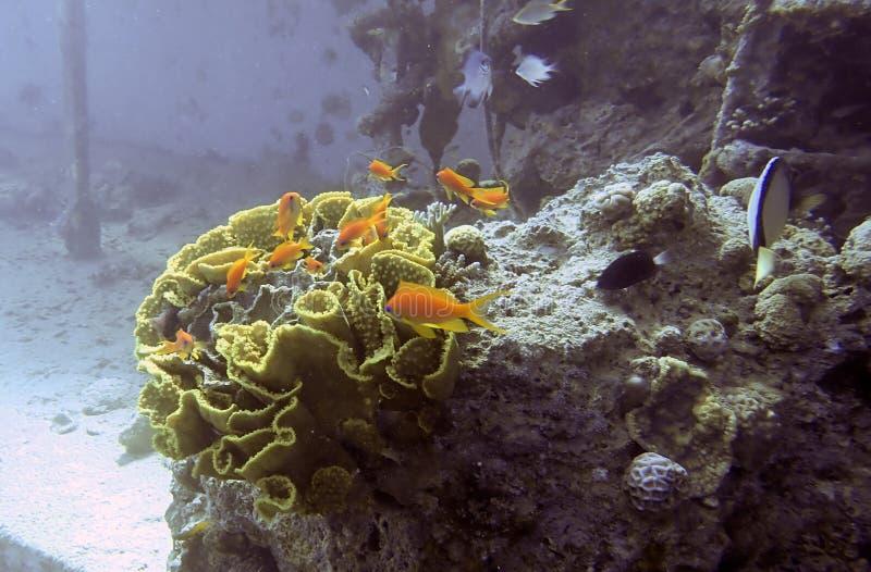Meer-goldie Fische lizenzfreies stockbild