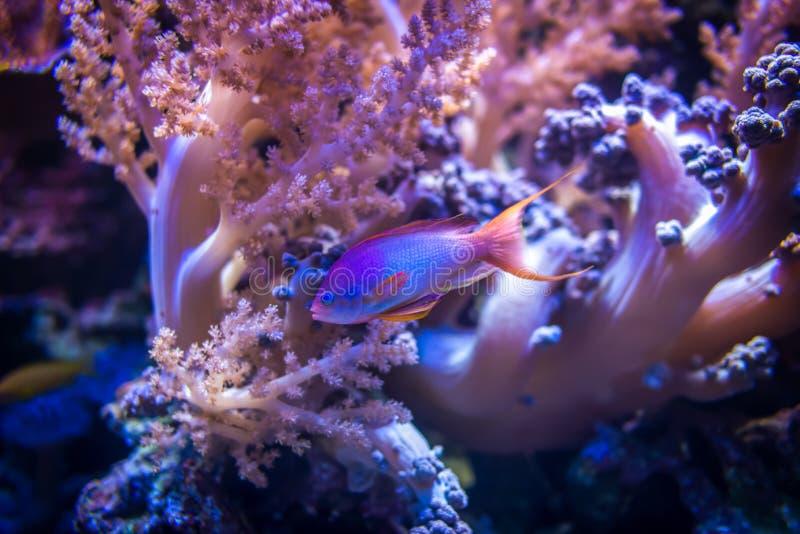 Meer-goldie Fischschwimmen auf rosa Korallenriffhintergrund lizenzfreie stockfotografie