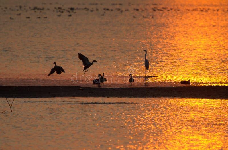 Meer in gouden zonsondergang met eenden en andere vogels van het moerasland stock fotografie