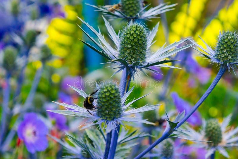 Meer Holly Blue Thistle mit Hummel und gelbem Hintergrund stockfoto