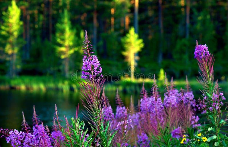 Meer met wilgeroosjebloemen stock afbeeldingen