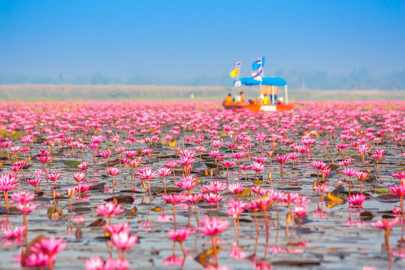 Meer von rosa Lotos, Nonghan, Thailand lizenzfreie stockfotos