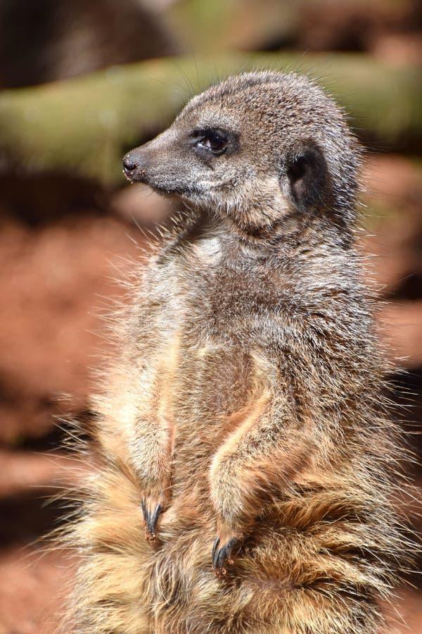 Meercat,从非洲南部的一个沙漠居民 库存照片