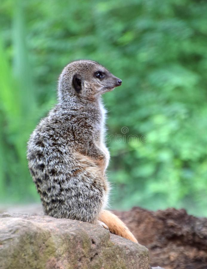Meercat,从非洲南部的一个沙漠居民 免版税图库摄影