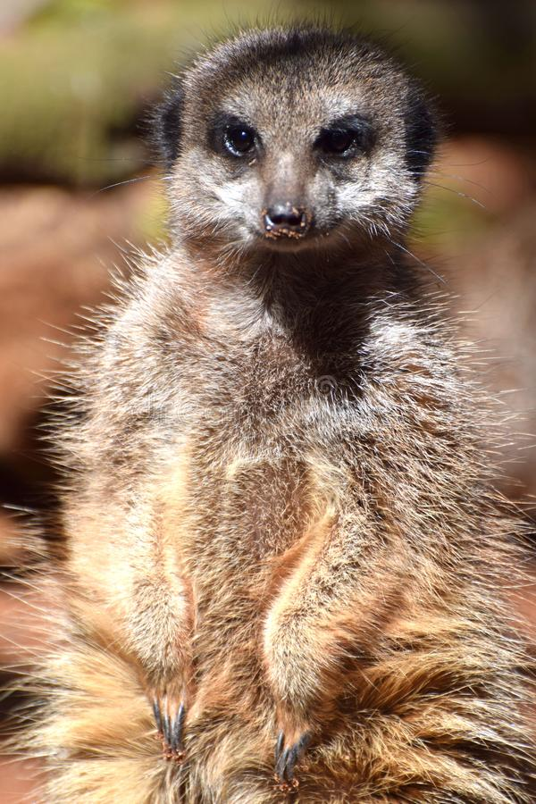 Meercat,从非洲南部的一个沙漠居民 库存图片