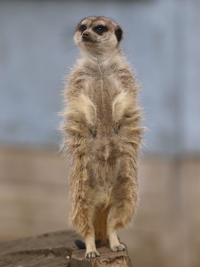 meercat ενιαίος στοκ εικόνα με δικαίωμα ελεύθερης χρήσης