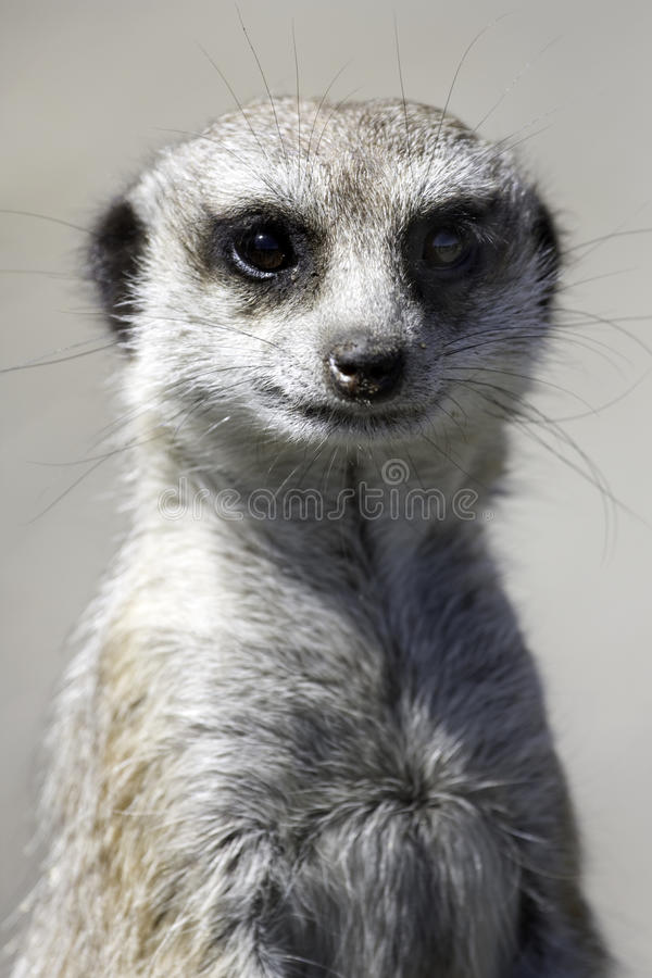 Free Meercat Royalty Free Stock Images - 10011349