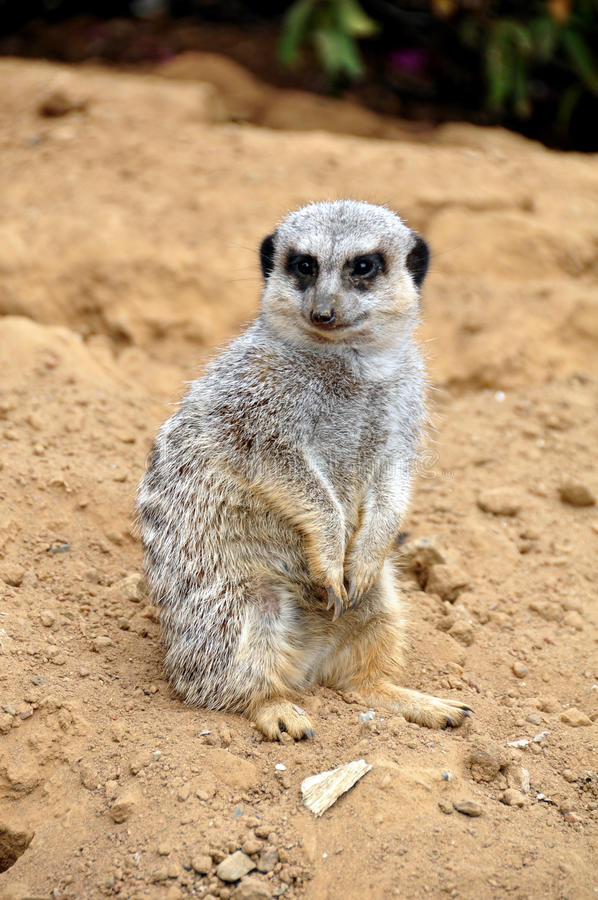 meercat royaltyfri bild
