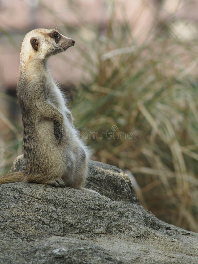 Meercat zdjęcie royalty free