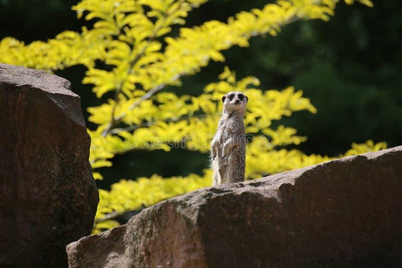 Meercat auf Stein lizenzfreie stockfotos