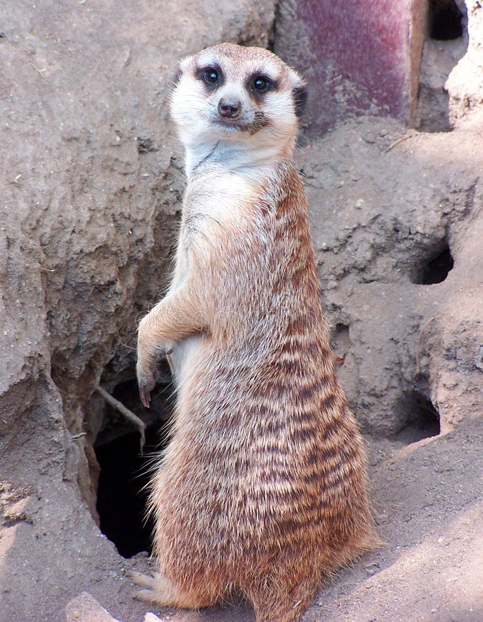 Download Meercat goodbye stock image. Image of desert, wild, protect - 2245541