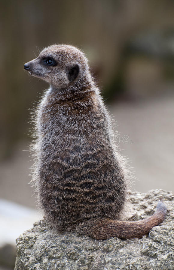 Download Meercat On Lookout Stock Photo - Image: 13440070