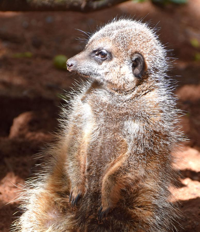 Meercat,从非洲南部的一个沙漠居民 免版税库存图片