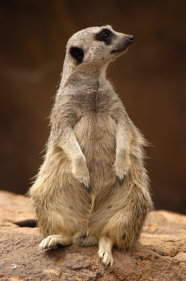 Free Meercat Profile Royalty Free Stock Images - 104759
