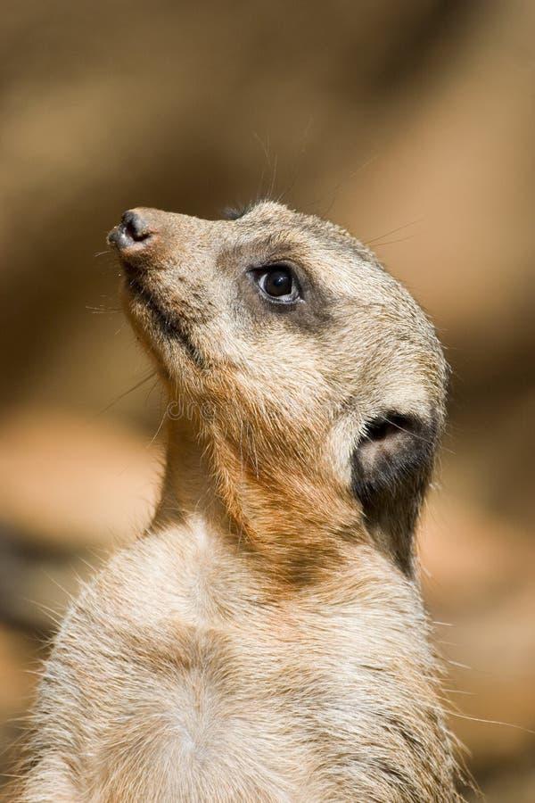 meercat som uppåt stirrar fotografering för bildbyråer