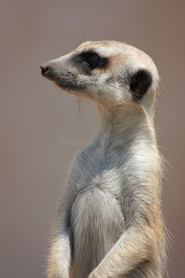 meercat strona zdjęcia royalty free