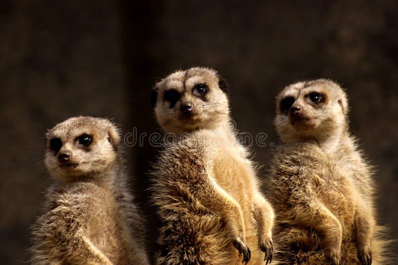 meercat trio zdjęcie stock