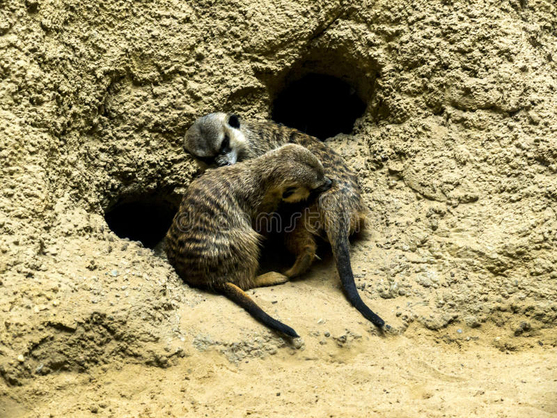 Meercats in Berlin Germany. Opened on 1 August 1844, the Zoologischer Garten Berlin was the first zoo in Germany. The aquarium opened in 1913. The first animals stock photography