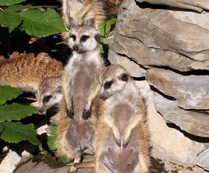 Meercats na atenção no cerco fotografia de stock royalty free