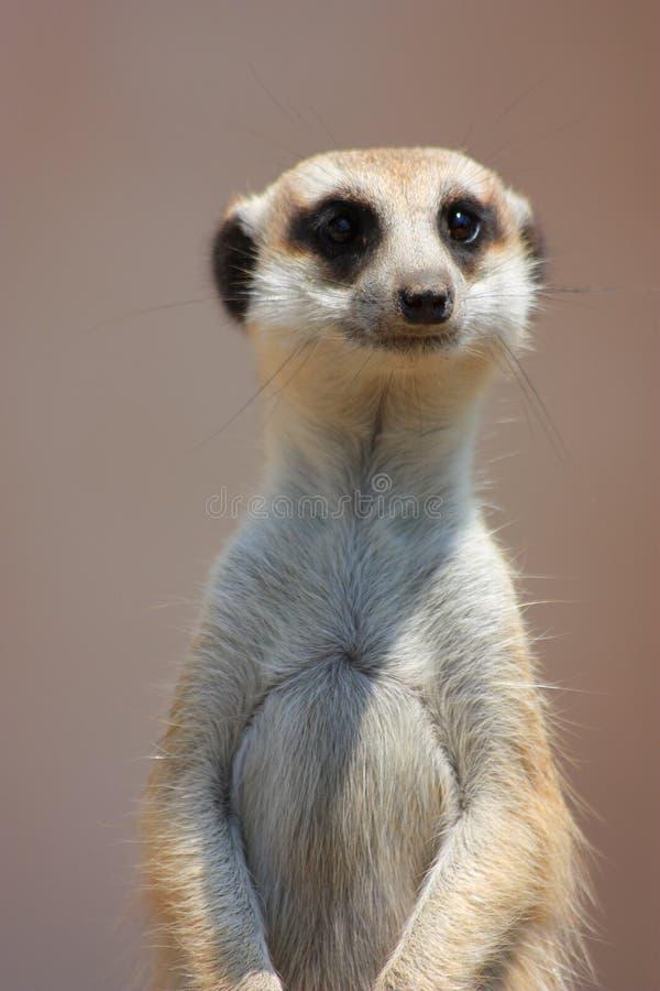 meercatstående arkivfoto