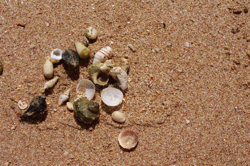 Meercockleshells auf Sand stockfotos