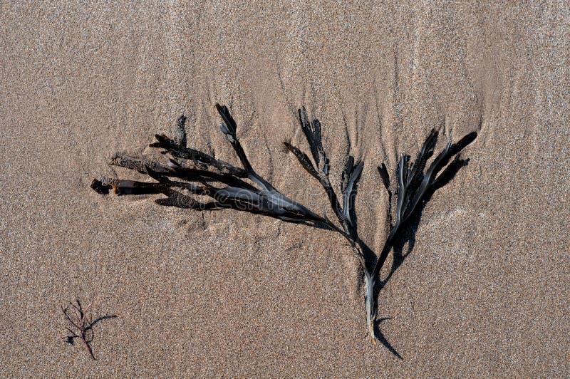 Meerespflanze auf dem Sand stockbild