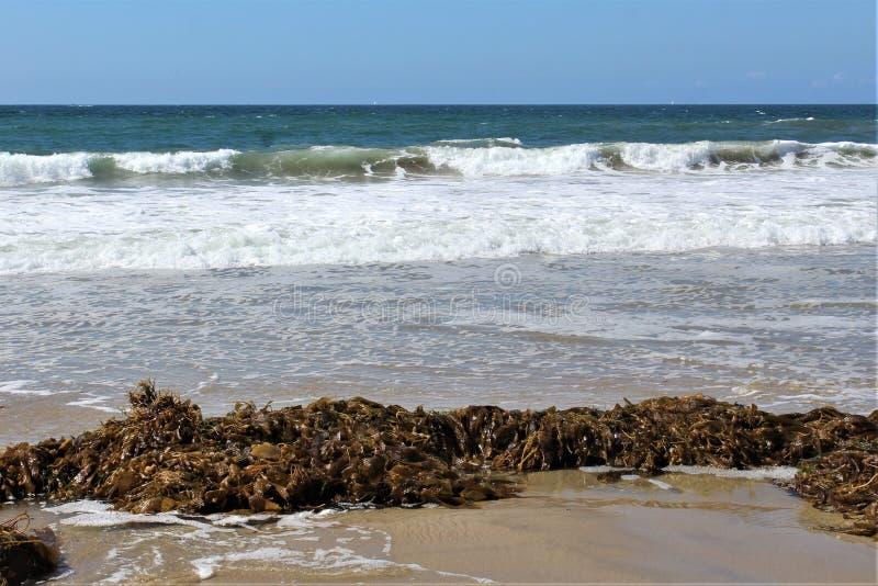 Meerespflanze an Hermosa-Strand Kalifornien in der Los Angeles County, Kalifornien, Vereinigte Staaten lizenzfreies stockfoto