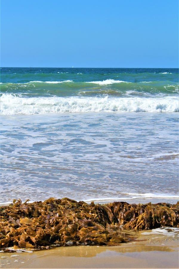 Meerespflanze an Hermosa-Strand Kalifornien in der Los Angeles County, Kalifornien, Vereinigte Staaten lizenzfreie stockfotografie