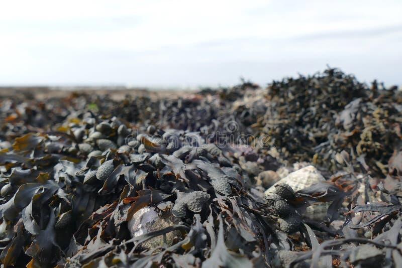 Meerespflanze schließen bei Ebbe oben lizenzfreies stockfoto