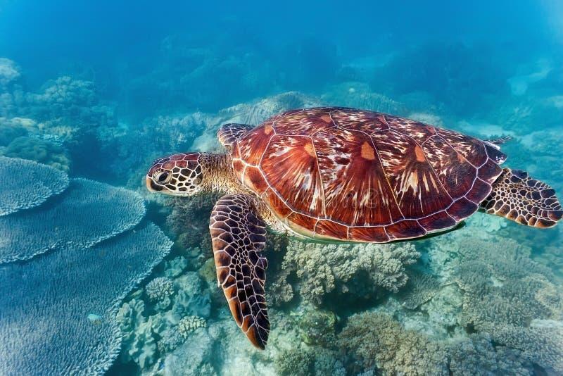 Meeresschildkröte auf dem Korallenriff stockfoto