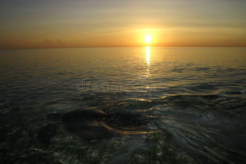 Meeresschildkröte zurück zu dem Meer, nachdem sie gelegt hat, ärgert während des Sonnenaufgangs, Sipadan-Insel, Sabah, Malaysia lizenzfreies stockbild