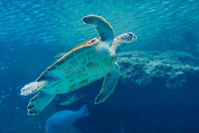 Meeresschildkröteschwimmen im Aquarium lizenzfreie stockfotos