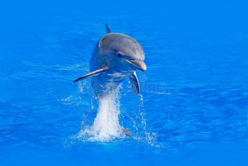 Meereswoge mit Tier Bottlenosed-Delphin, Tursiops truncatus, im blauen Wasser Actionszene der wild lebenden Tiere von der Ozeanna lizenzfreie stockbilder