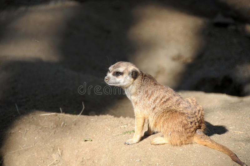 Download Meerka Suricata Suricatta Close Up Stock Photo - Image of meerka, suricate: 98616444