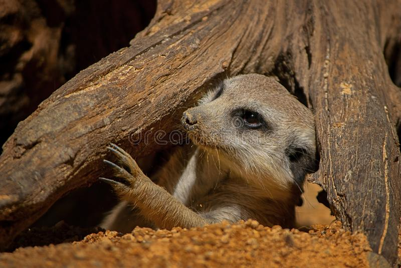 Meerkat,海岛猫鼬类,哺乳动物,画象,动物 免版税库存照片