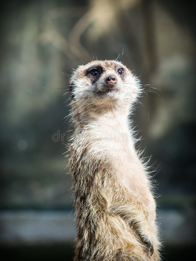 meerkat或suricate海岛猫鼬类suricatta 免版税库存图片
