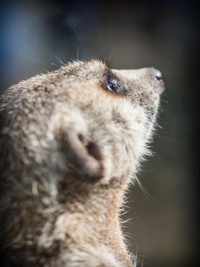 meerkat或suricate海岛猫鼬类suricatta 库存图片