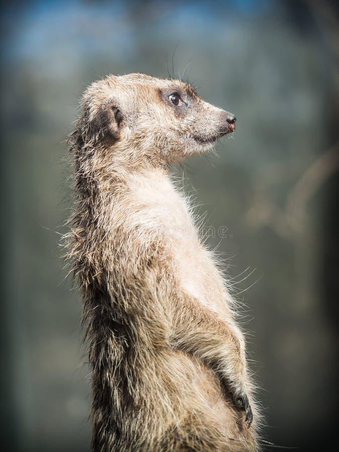 meerkat或suricate海岛猫鼬类suricatta 库存照片
