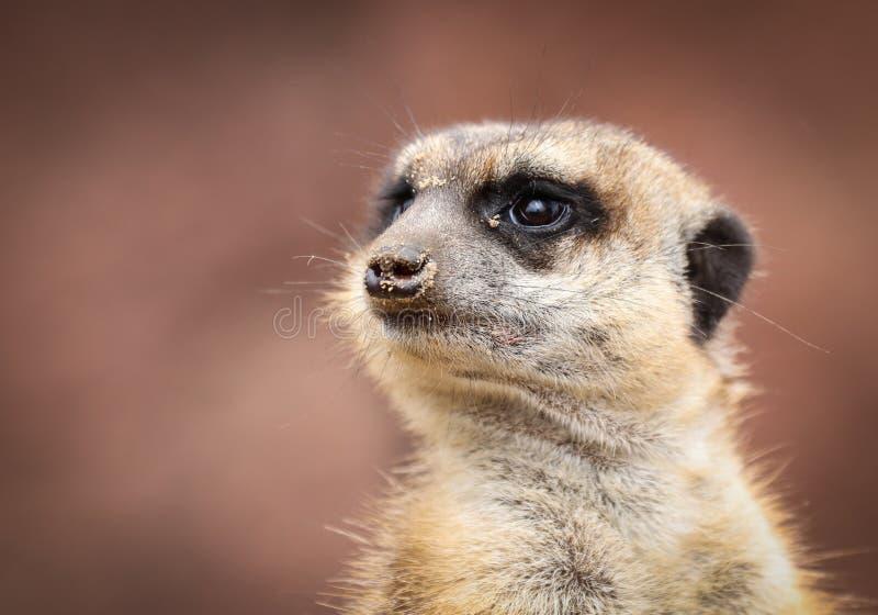 meerkat或suricate海岛猫鼬类suricatta 免版税库存照片