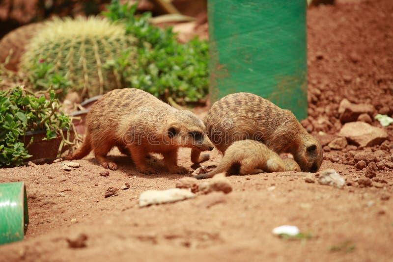 Meerkat是一有短的肢体的细长体,小头,小耳朵,嘴技巧,哺养在蛇,青蛙,鱼,螃蟹,e 免版税图库摄影