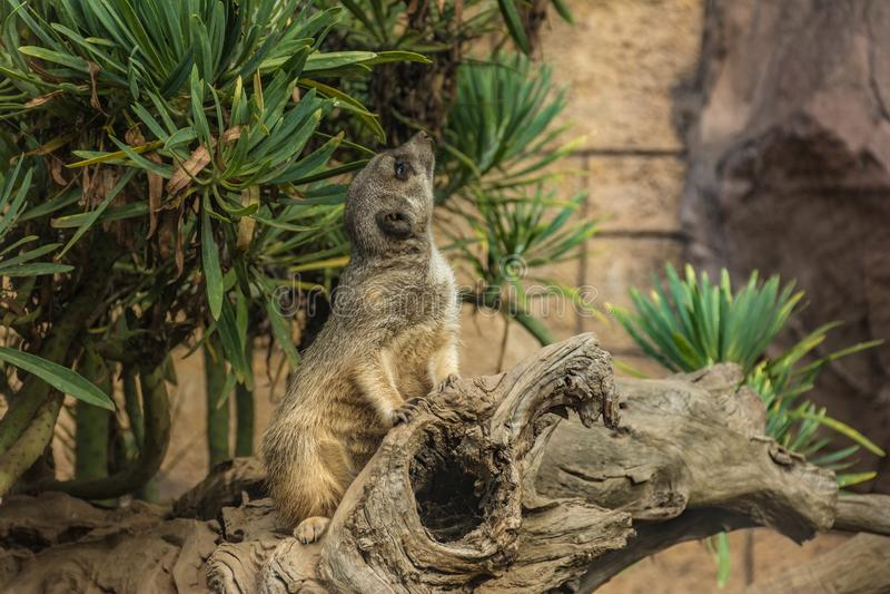 meerkat是家庭Herpestidae的肉食哺乳动物的种类居住喀拉哈里沙漠和N的区域 图库摄影