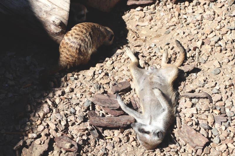 Meerkat海岛猫鼬类suricatta,非洲当地动物,属于猫鼬家庭的小食肉动物 库存照片