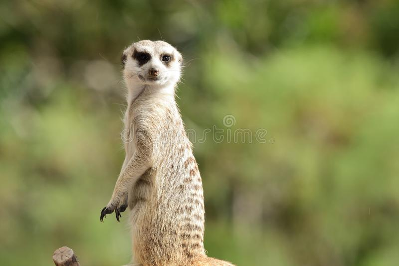 Meerkat海岛猫鼬类suricatta 库存图片