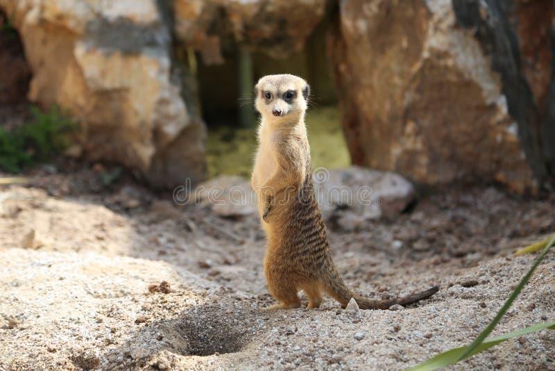 Meerkat海岛猫鼬类suricatta 库存照片