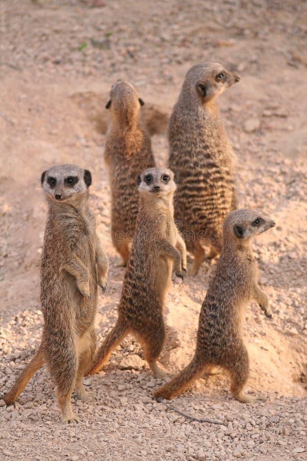 meerkat淘气 库存照片