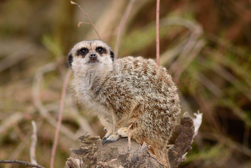meerkat的画象坐树桩 图库摄影