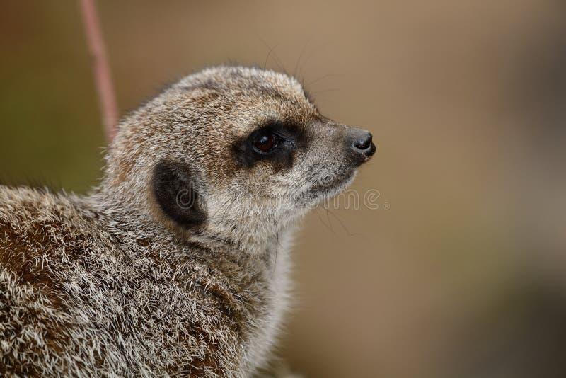 meerkat的纵向 库存照片